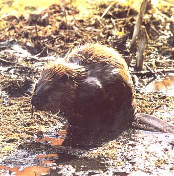 河狸是我国最大的啮齿动物;营半