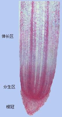 彩图一 根尖纵切面(局部)(玉米)
