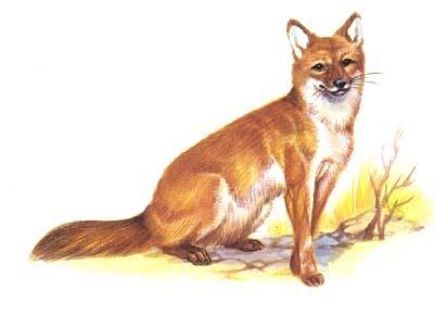 生活在丘陵的森林里,吃兔,鼠等小动物,也吃叶子和腐肉.